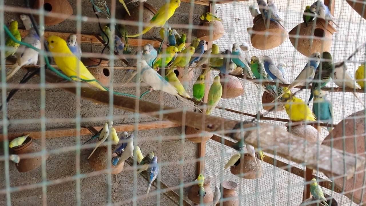 Top Most Beautiful Budgie Birds (বাজরিগার পাখির খামার ও পাখি পালন)