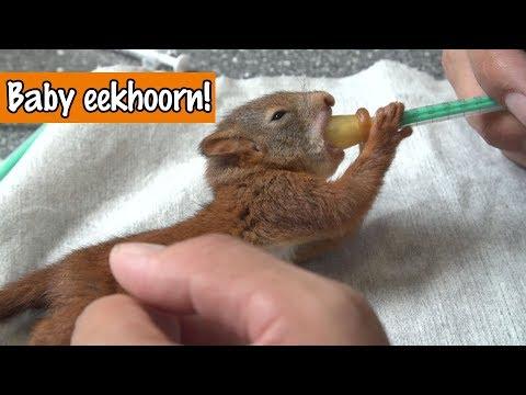 Baby eekhoorn voeren | DierenpraatTV