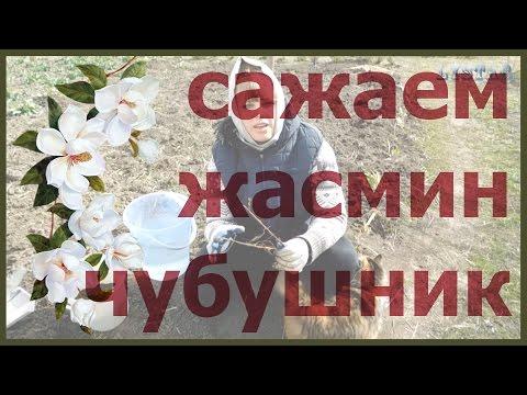 Жасмин чубушник как посадить выращивать чубушник выращивание уход посадка чубушника жасмина