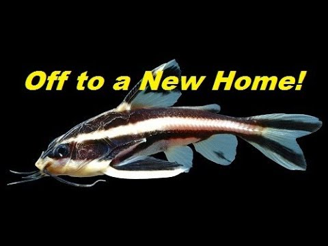 Why I'm Giving Away One Of My Fish (Huge Striped Raphael Catfish)