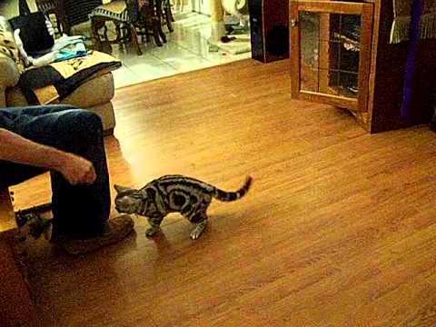 American shorthair cat jump backflips