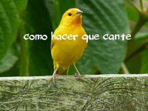 Como Hacer Cantar Canario Criollo O Cualquier Ave Fácil Y Rapido Youtube