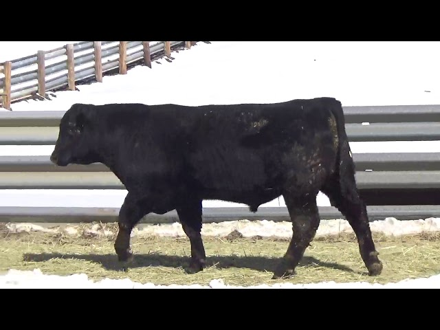 Connealy Angus Lot 398