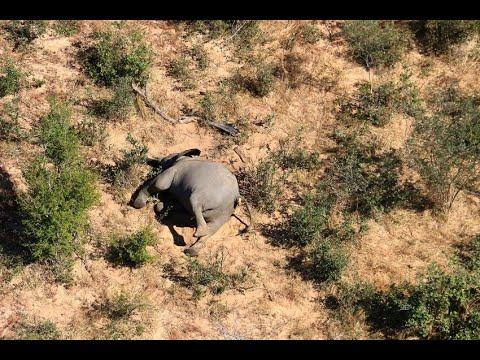 نفوق مئات الفيلة  في بوتسوانا والسبب غير معروف  - نشر قبل 11 ساعة