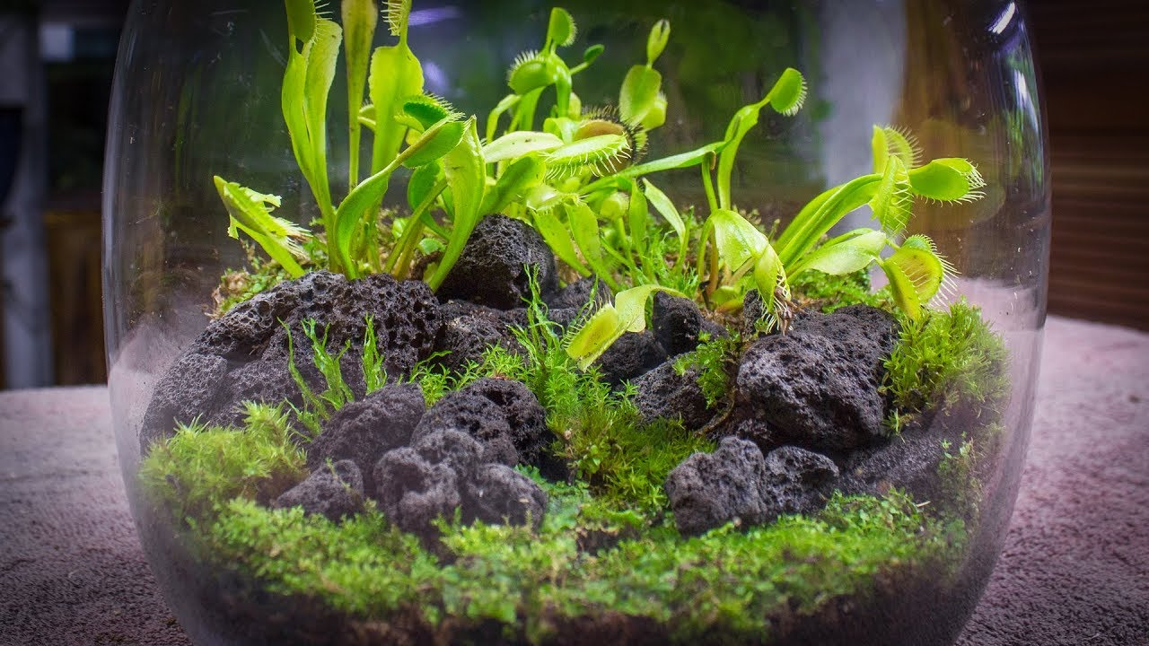 The Venus Fly Trap Terrarium Youtube