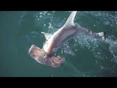 Amazing Hammerhead shark facts