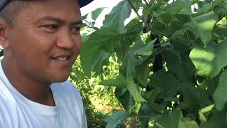 Roland Cabisay, a  Zamboangeño eggplant farmer, reveals his secrets in achieving high yield