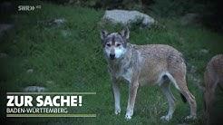 Wolfsattacke in Bad Wildbad? | Zur Sache Baden-Württemberg!