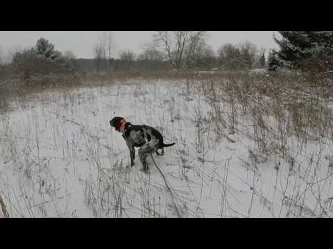 German shorthaired pointer mock deer track