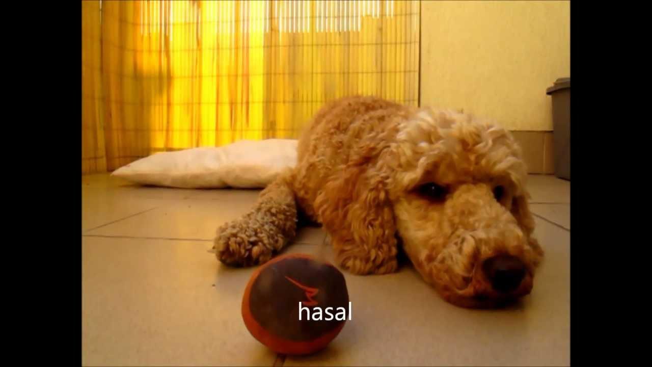 Pigmeus uszkár, Kutyakozmetika: Szőrözés