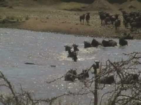 Crocodile Eats Wildebeest in Serengeti River Crossing