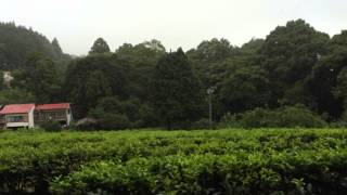 Tea field in the mountains of Minami Ashigara, Japan.