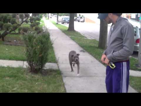 Blue Pitbull Amazing Obedience. Watch this.