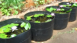Tub Setups for Raising Guppies: from Basic Water Lily Tubs to Integrated Garden Features