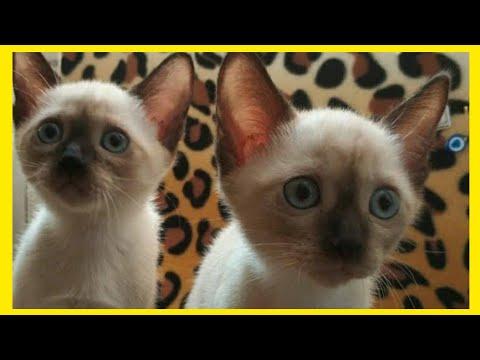 Siamese cat, Siyam kedisi, Siamkatze, 暹罗猫 , Little siamese cat compilation, Talking Siamese Cat from YouTube · Duration:  3 minutes 33 seconds