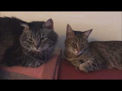 Maine Coon and Savannah Cats on the couch