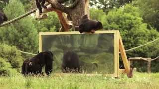 """""""Wie reagieren Schimpansen wenn sie sich selbst im Spiegel sehen?"""" Der Serengeti-Park zeigt es!"""