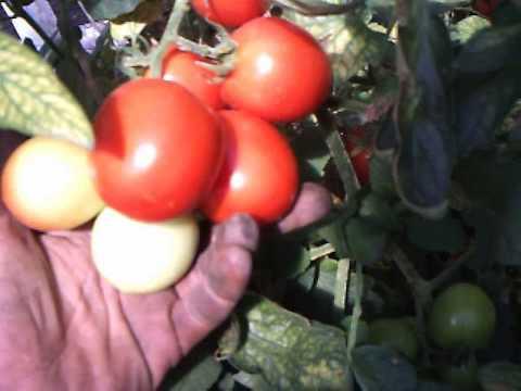 помидор толстой f1