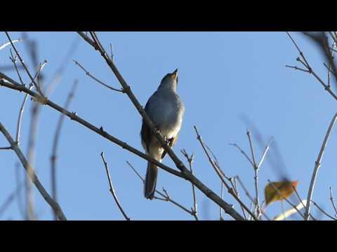 Most beautiful bird song in Cuba - Cuban Solitaire (Myadestes elisabeth)