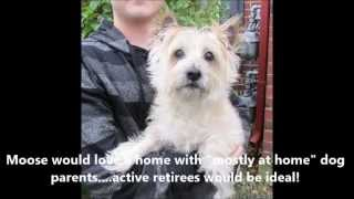"""Cairn Terrier """"moose"""" - Cairn Rescue Usa"""