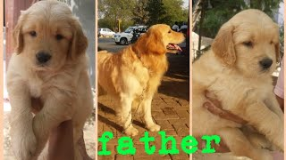 Golden Retriever Top Quality puppies for sale || Golden Retriever Kennel || jsk pets ||