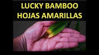 Cómo Cuidar LUCKY BAMBOO HOJAS AMARILLAS (BAMBOO DE LA SUERTE)