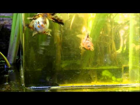 Poissons japonais bassin youtube for Bassin a poisson youtube