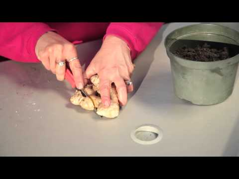 How to Plant Ginger in Containers : Planting Garlic & Gardening Tips