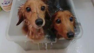ミニチュアダックスフンドの夫婦はお風呂が大好き! おとなしくお風呂に...