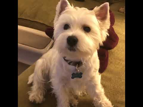Cute Westie Terrier talks about the coronavirus pandemic and his mother a NYC pediatrician.