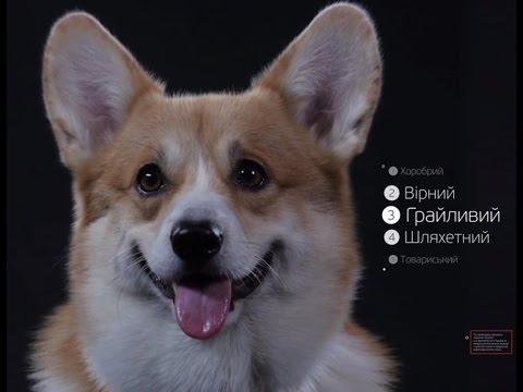 Вельш Корги ➠ Узнайте все о породе собаки