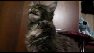 Лирикум Ван Фрейя поет песенки , мейн-кун кошечка очень ласковая