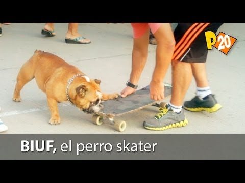 Biuf, el perro skater peruano (The English Bulldog skater from Peru)