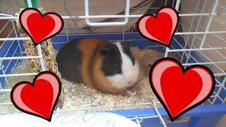 МОЯ ЛЮБОВЬ :3 | ОДИН ДЕНЬ ИЗ ЖИЗНИ МОРСКОЙ СВИНКИ(Моя любовь - морские свинки. Милые животные. Моего сасного свина зовут Изюм. Подписка на Изюмку^^ https://www.youtube.c..., 2016-06-19T12:31:21.000Z)