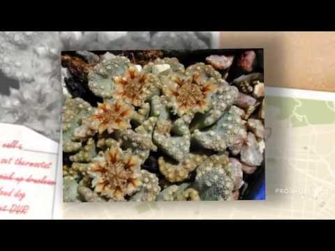 Rhombophyllum - garden plants
