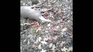 deer fakes dead
