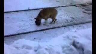 Рыжая собака ест и носит кастрюлю.