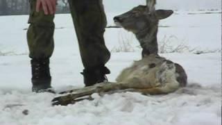 Dzikie psy zabiły 12 saren.wmv