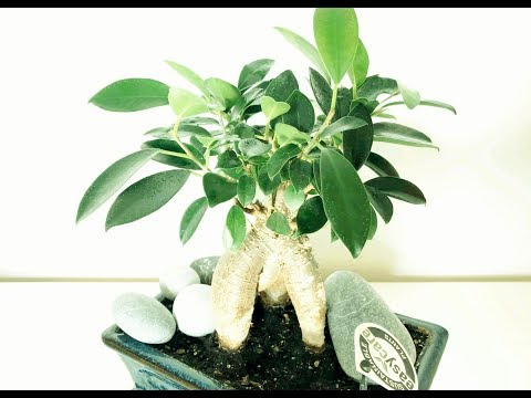 Бонсай-фикус Микрокарпа Гинсенг. Формирование кроны. Ficus Microcarpa Ginseng