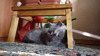 британская голубая кошка вика