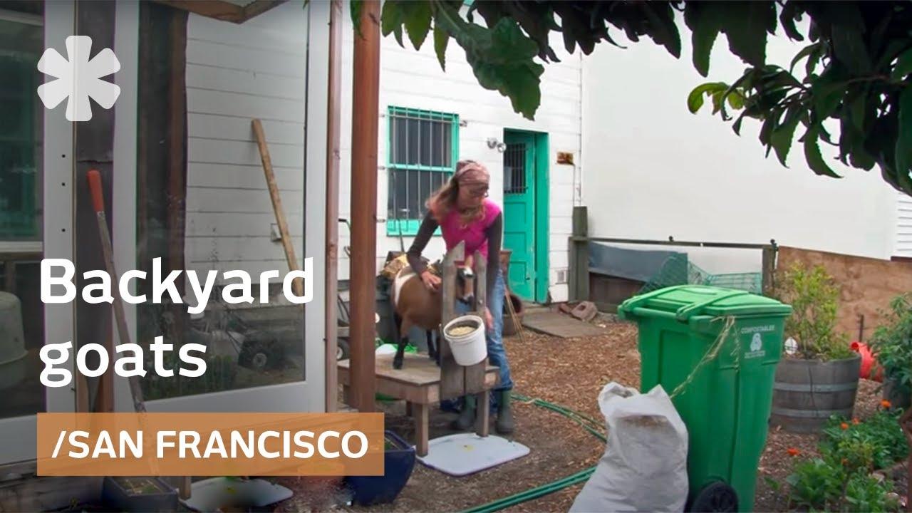 Urban Goats For Organic Raw Milk In A San Francisco Backyard