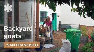 Urban goats for organic raw milk in a San Francisco backyard