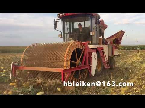 seed melon, pumpkin seed harvest