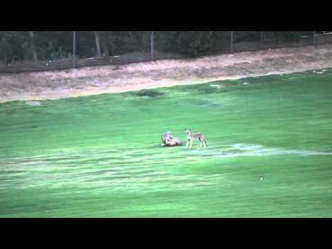 Coyotes on Laguna Woods Village Driving Range