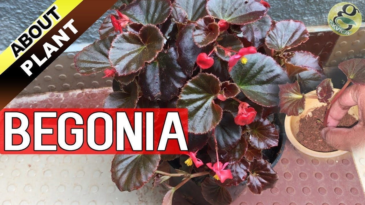 Begonia Plant Care How To Grow And Propagate Begonia Cuttings Garden Tips In English Youtube