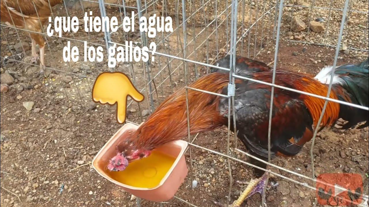 ¿Porque esta amarilla el agua de mis gallos? || CARLOS RUBIO