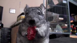 Chinchilla eating dried Strawberry :D