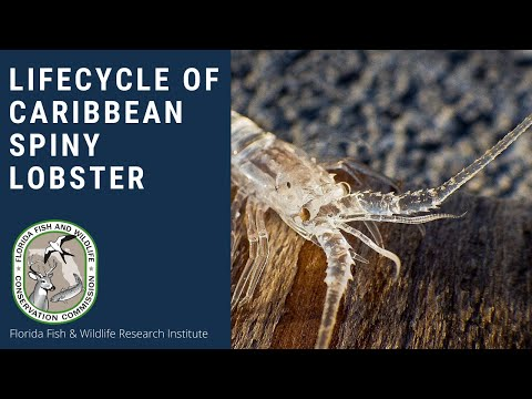 The Life Cycle of a Caribbean Spiny Lobster
