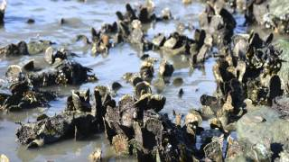 Sea Talk - Oyster Shell Recycling