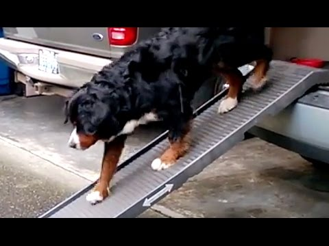 Bernese Mountain Dog Using A Portable Car Ramp Youtube